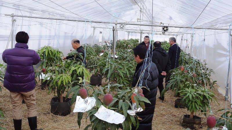 Теплица, где выращивают манго