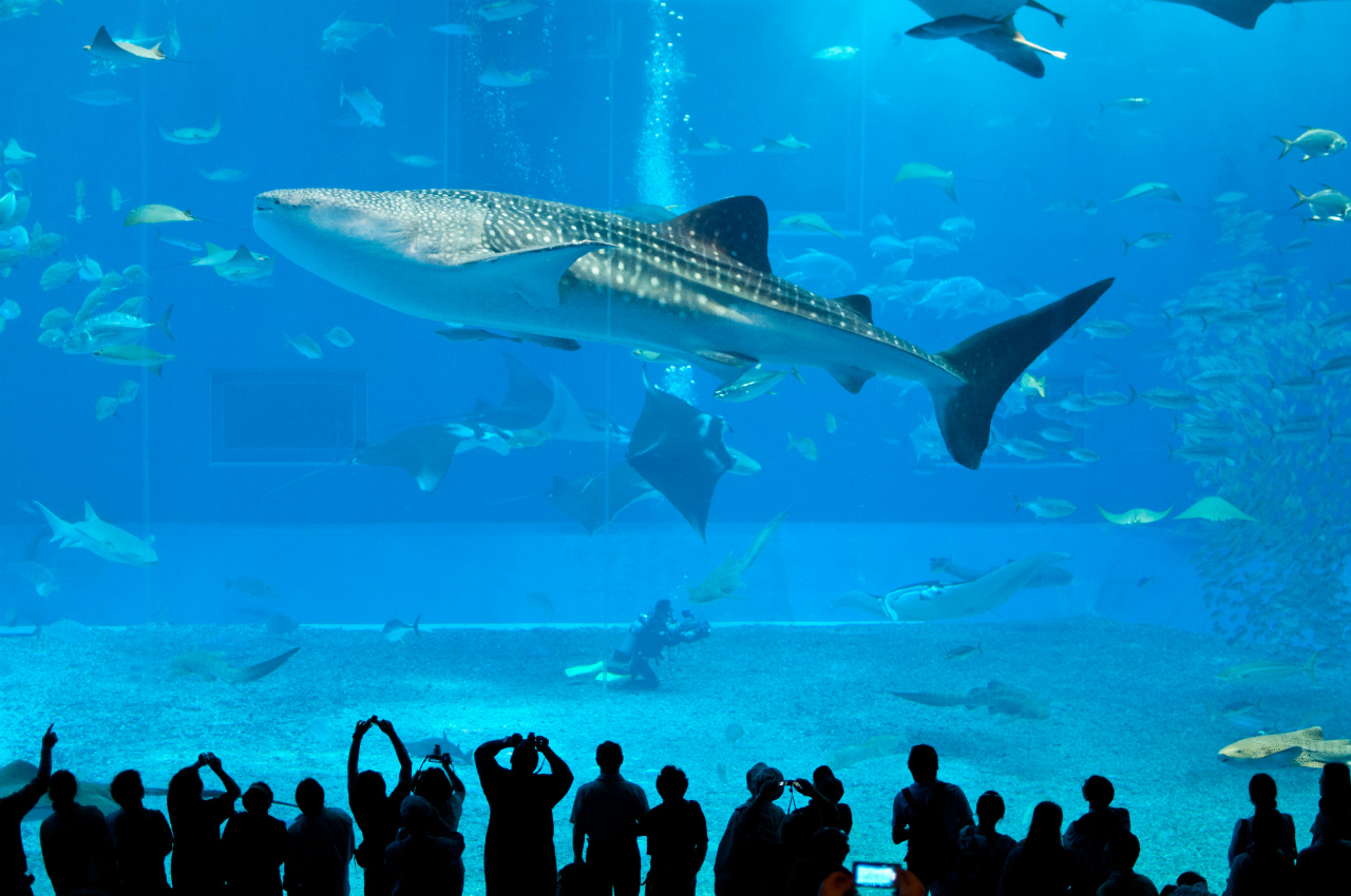 Китовая акула в окенариуме Тюрауми