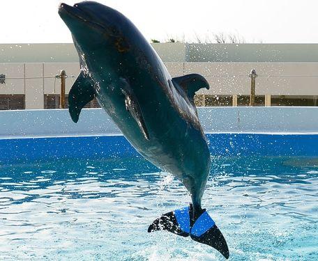 Дельфин с искусственным хвостом