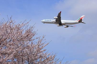В сезон цветения сакуры 2016 года ожидается увеличение числа туристов