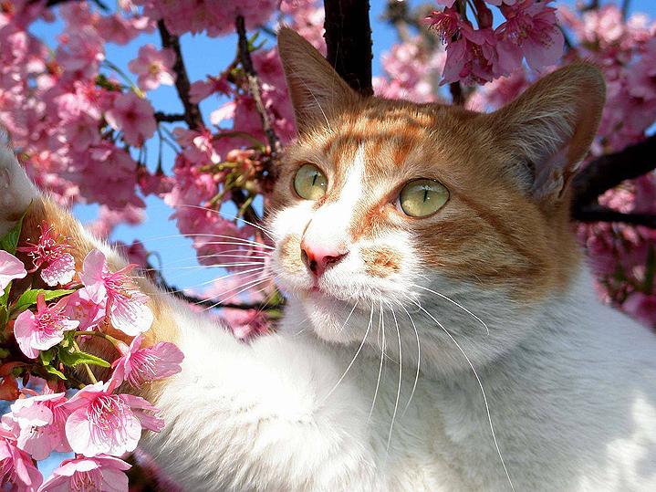 сакура фото котики Япония