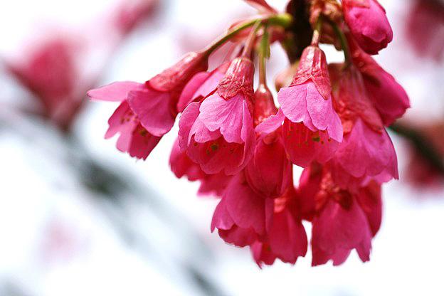 Окинавский сорт сакуры — хикандзакура