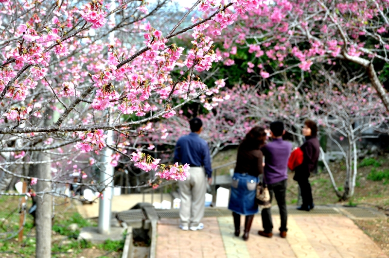 Город Яэсэ на Окинаве во время цветения сакуры
