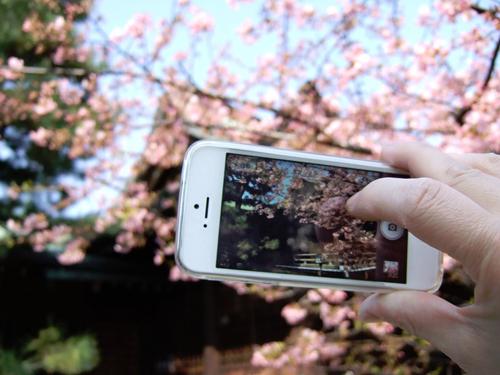 Как фотографировать сакуру