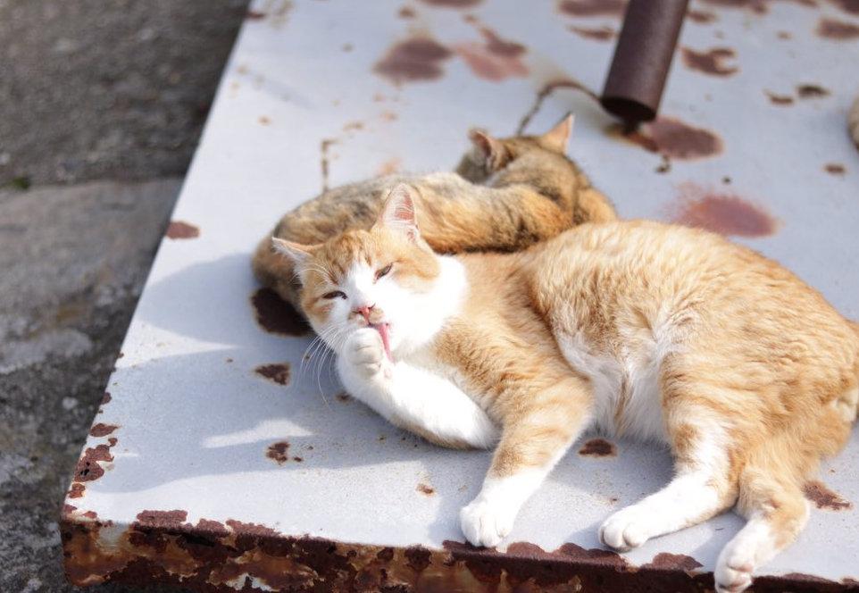 Кошки острова Аосима после обеда