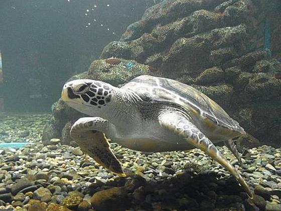 Черепаха, пережившая цунами