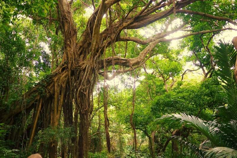 Окинава, дерево баньян