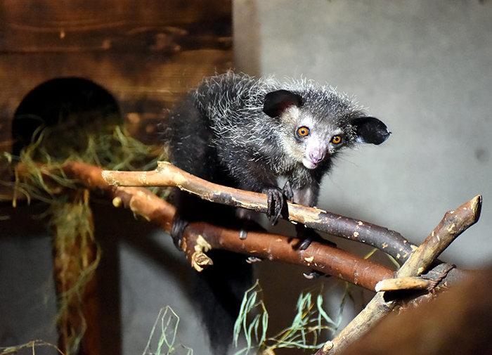Лемур Ай-Ай по кличке Ала, зоопарк Уэно
