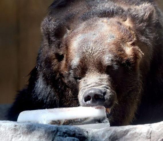Медведи в зоопарке Уэно едят лёд