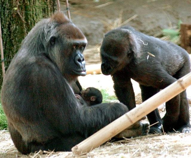 В зоопарке Уэно горилла Момоко родила дочь
