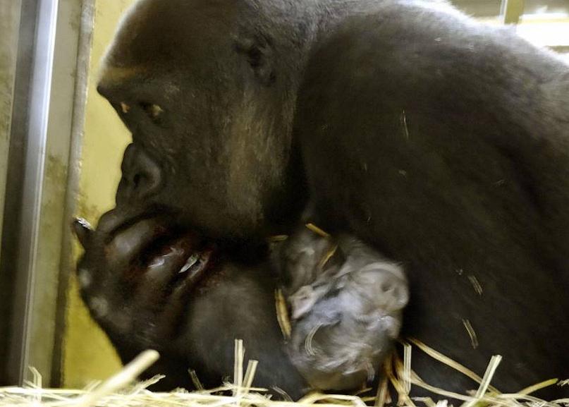 Пополнение в зоопарке Уэно