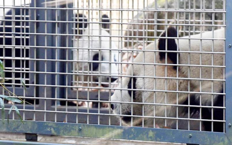 В зоопарке Уэно проведут процедуру искусственного оплодотворения панде