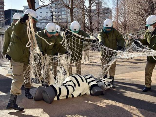 Сбежавшую зебру поймали