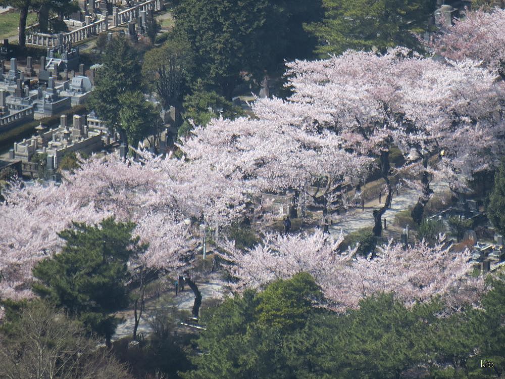 Кладбище Аояма, сакура