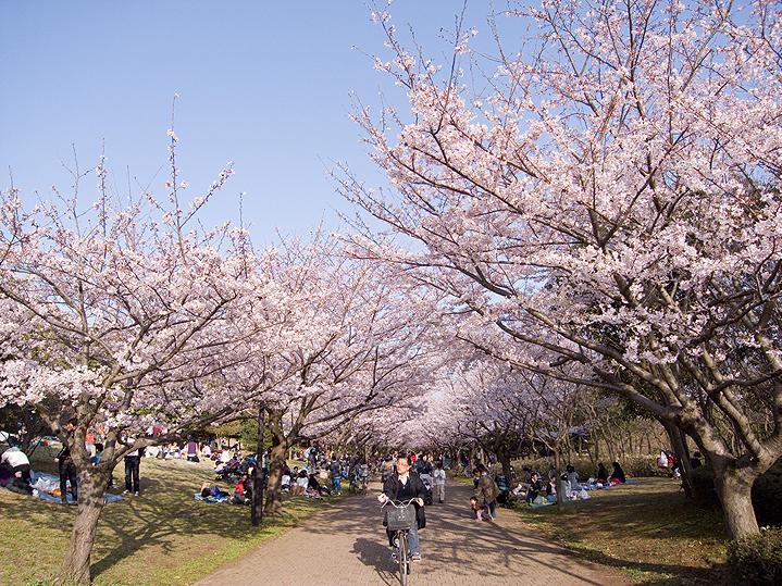 Парк Касаи Ринкаи, сакура