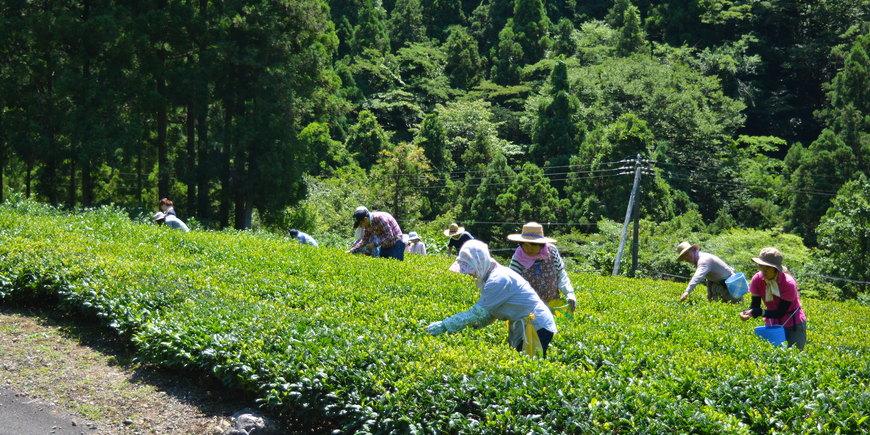 Сбор зелёного чая: можно заказать экскурсию
