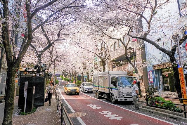 Сакура на улицах Токио