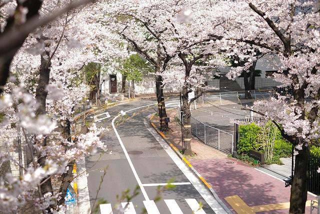 Цветение сакуры в Акасака