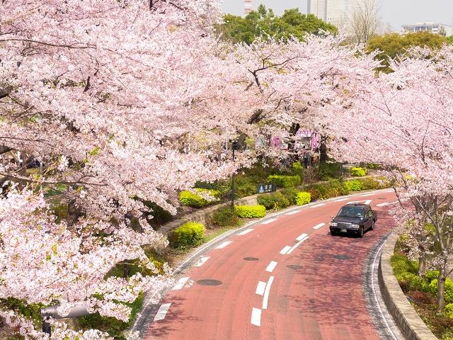 Аллея цветущей сакуры в Роппонги