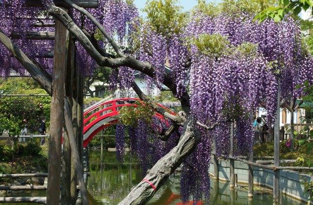 Глициния цветет в Камэйдо Тэндзин