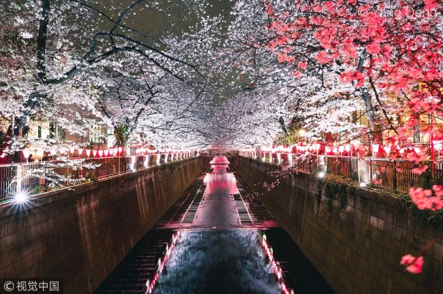 весна и ночная сакура