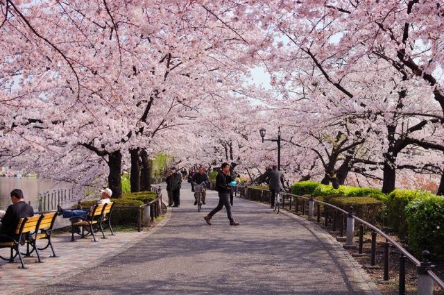 сакура в Токио