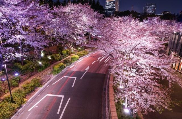 любование ночной сакурой в центре токио
